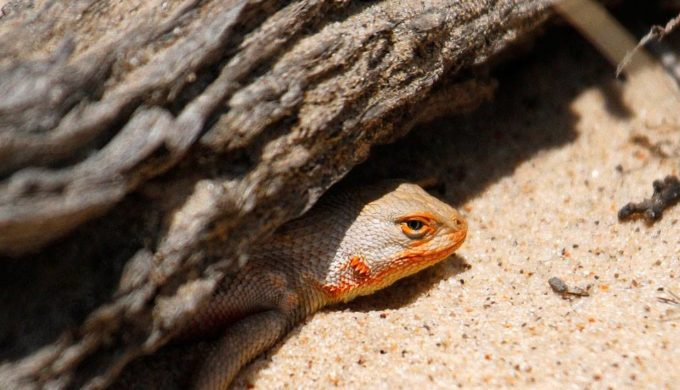 Tiny West Texas Lizard the Bane of Big Oil: Environmental Groups Petition for Protection