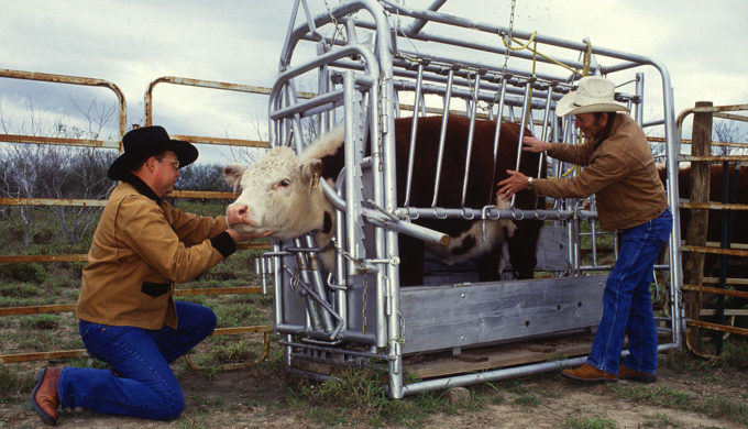 1024px-Cattle_inspected_for_ticks