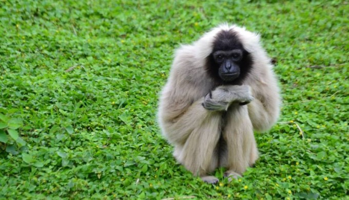 Thailand gibbon sits in field of green
