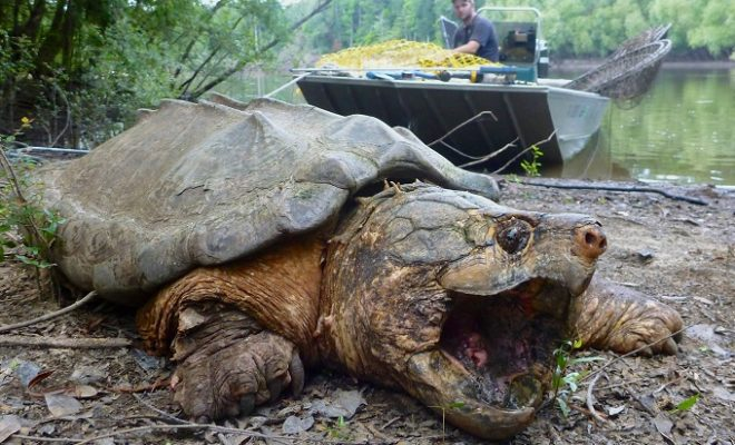 Largest Population of 'Ancient' Turtles in Texas May be in Buffalo Bayou