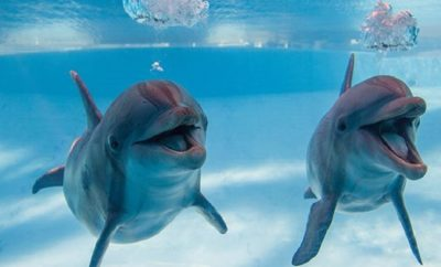 Texas State Aquarium to Study Health & Welfare of Dolphins in Captivity