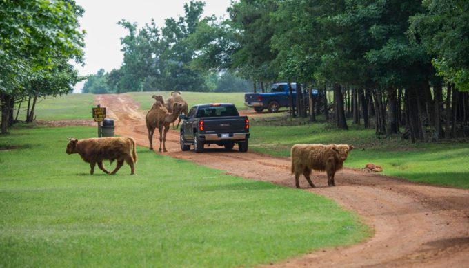 This Texas Drive-Thru Safari is an Adventure with Exotic Animals