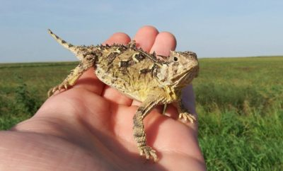 Saving Texas Horned Lizards: Here's How You Can Help