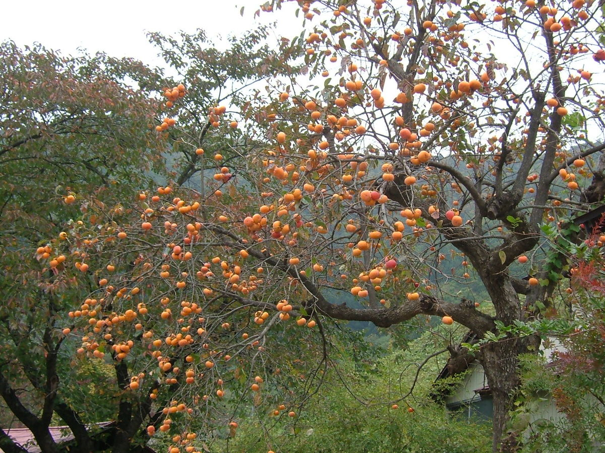 Persimmons, one of Nature's secrets