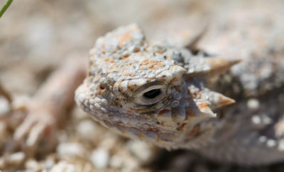 Great Horny Toads! Video Shows Release of 140 Horned Lizard Hatchlings