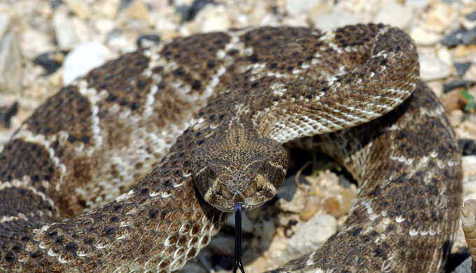 Rattler Comes Through West Texas Toilet: Gives New Meaning to Snaking a Drain…