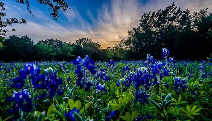 The First of the 2017 Texas Bluebonnets Has Bloomed And We're Thrilled!