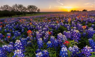 Annual Lampasas Bloomin' Fest Scheduled to Bring Texas Springtime Wildflowers to the Forefront