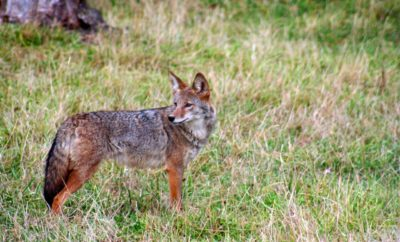 Coyotes in the Texas Hill Country: Are They Dangerous to Humans?