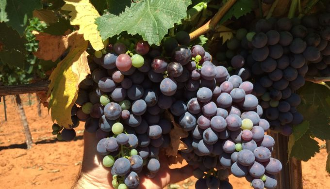 Grape Expectations: Texas Wine Boon Expected From Record 2018 Harvest Forecast