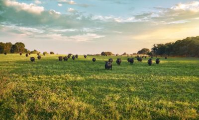 What Makes Up the Texas Beef Industry: 44 Farms Welcomes You to Find Out