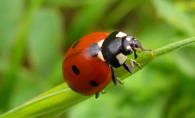 Myths and Facts About Ladybugs that Might Surprise You