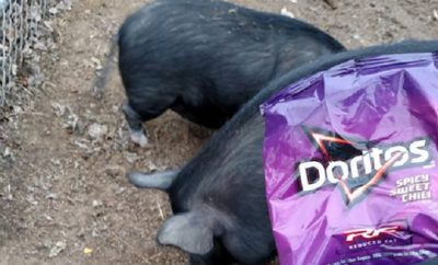 Doritos & Cheetos Used to Lure Large Momma Pig out of Austin Backyard