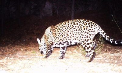 A Second Jaguar in Southeast Arizona?