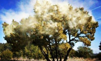 Cedar Fever on the Rise: What You Can Do to Save Your Holiday Spirit
