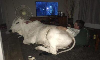 Beryl The Brahman: The Beautiful Bovine from Australia Who Thinks She's a Dog