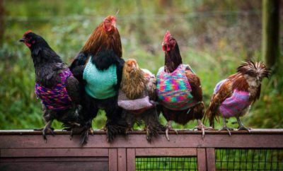 'Plucky' Retiree Knitting Group Making Sweaters for Chickens