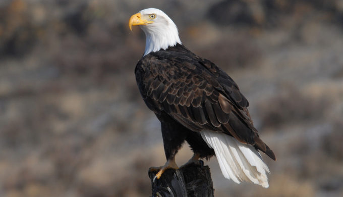Bald Eagles in Texas are Making a Comeback: Where You Can See Them