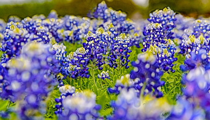 Official Texas Bluebonnet Trail in Ennis, The Official Bluebonnet City of Texas!