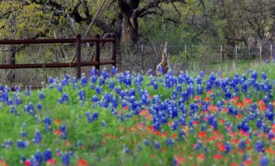 Well-Meant Hill Country Bluebonnet Photo Catches Something Gone Awry