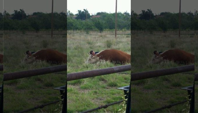 Even Hearts Are Bigger in Texas: Stinnett Man Comforts Cow That Lost Its Calf