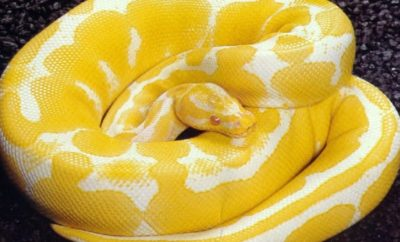 Albino Boa Constrictor Discovered in Fort Worth Goodwill Donations
