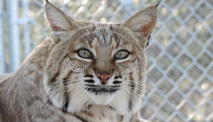 Dallas Zoo to Close Cat Row: Oldest Exhibit Which Began in the 1930s