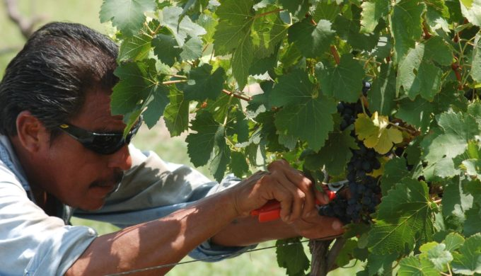 Harvesting Grapes at Vines On The Rocks Winery