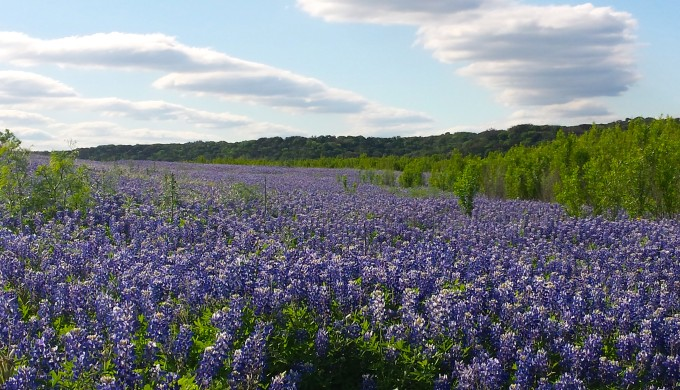 2016 Bluebonnet field