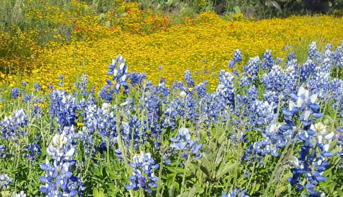 2016 Wildflowers yellow and bluebonnets
