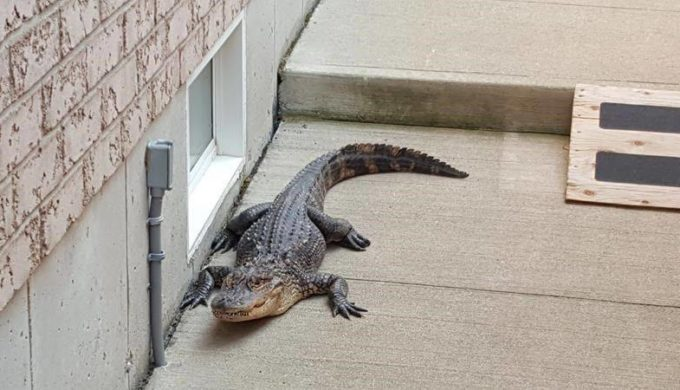 The Alligator That Came for Anniversary Dinner: How On Earth Did it Get There?