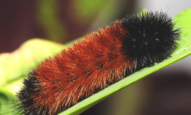 Can the Woolly Bear Caterpillar Predict Winter Weather?