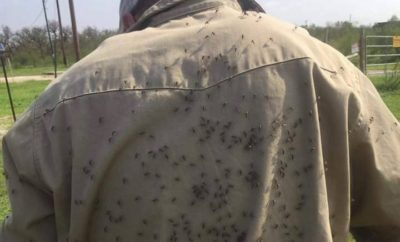 Post-Harvey Texas Mosquito Populations Presently Being Monitored