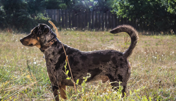 Catahoula Leopard Dog: Why so Many of Them End Up in Shelters
