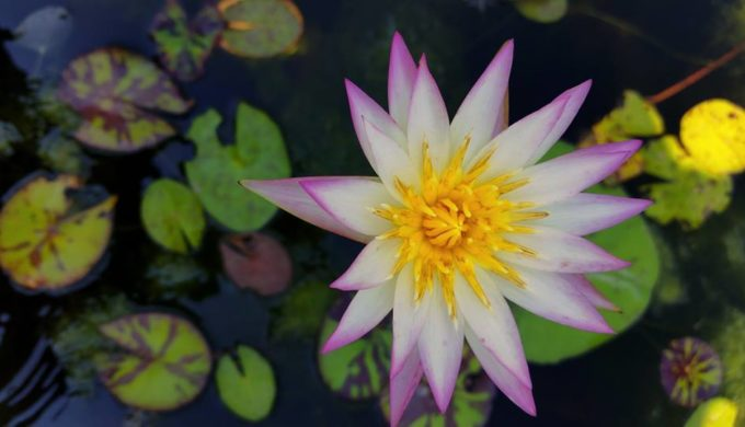 Pre-Eminent Waterlily Collection Available for Viewing in San Angelo