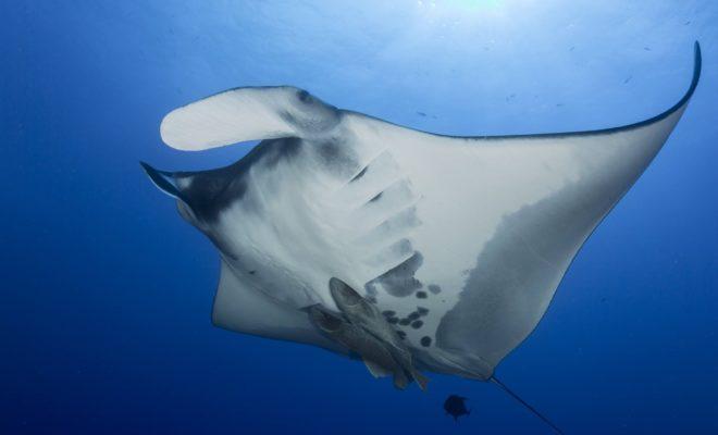 Rare Discovery Off Texas Coast of Manta Ray Nursery Has Scientists Amazed