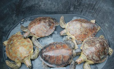 Texas Sealife Center Releases Rehabilitated Cold-Stunned Sea Turtles