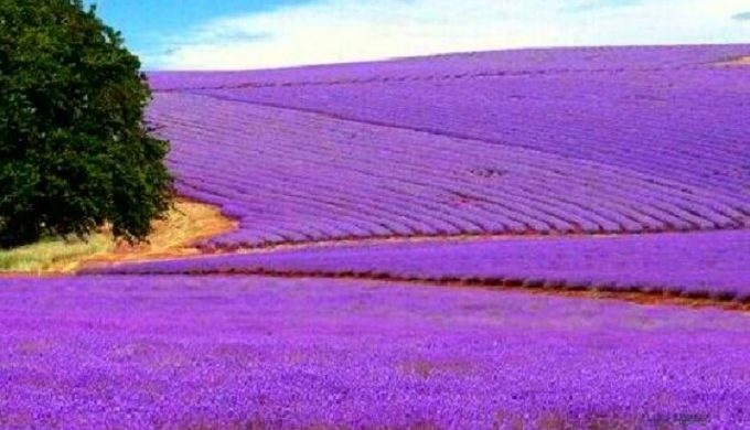 Lavender Fields Forever In The Texas Hill Country
