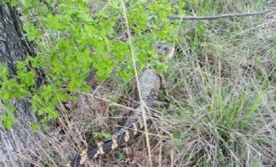 Rare Alligator Sighting in Kingsland, Llano County
