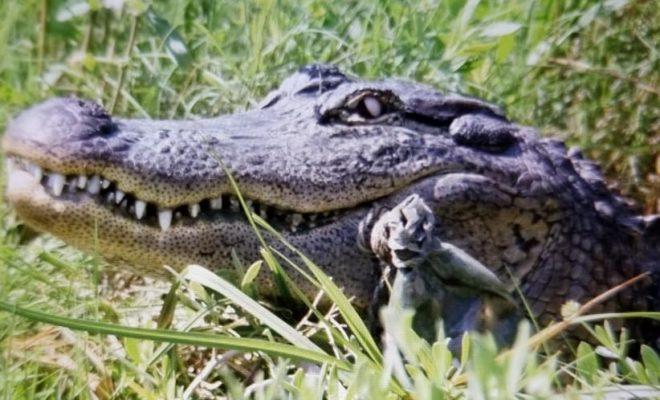 Man Records Massive Alligator Encounter in Pearland Neighborhood