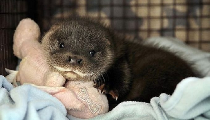 And Then There Were 3: Otter Pups Born at SA Zoo