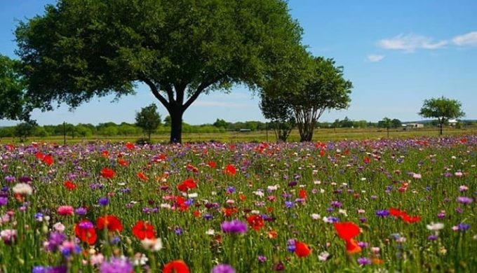 A Guide to the Texas Hill Country Wildflower Season: Know and Go