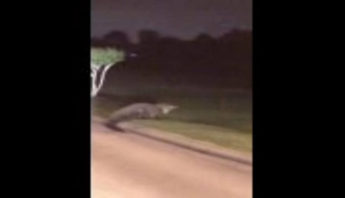 Man Records Massive Alligator Encounter in Pearland Neighborhood