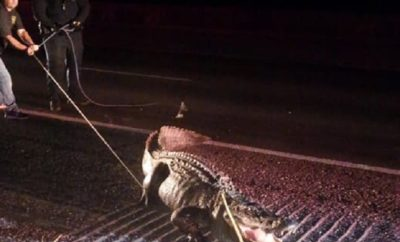 Cowboy Ropes Massive Alligator Stopping Texas Traffic in Its Tracks