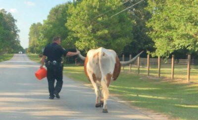 Beloved Samson, A Longhorn of Spring, Texas, Gets a Police Escort Home