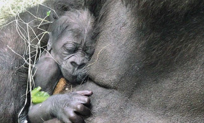 First Baby Gorilla Born at the Dallas Zoo in 20 Years Makes Its Debut