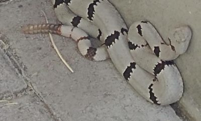 Strange, White Rattlesnake Photographed in West Texas