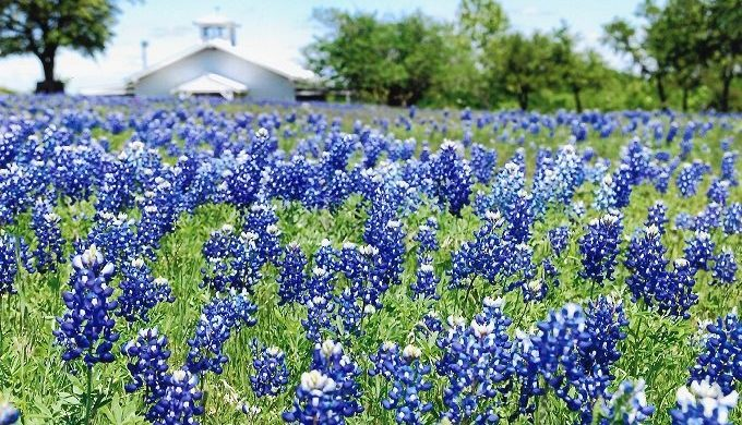 Take a Wildflower Road Trip to the Ennis Bluebonnet Trails & Festival