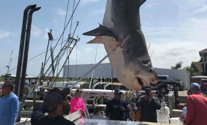 Whale of a Tale in Texas: 739-Pound Tiger Shark Caught in Fishing Tournament