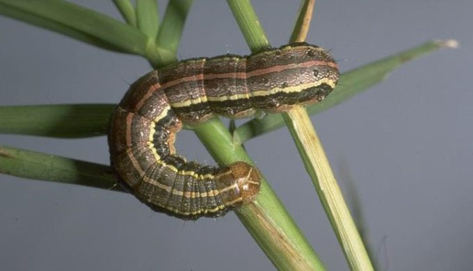Armyworms are Invading Texas Pastures, Fields, and Lawns